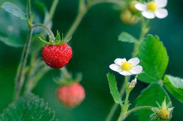 Fragaria vesca, gewoonlijk wilde aardbei genoemd, met bloem en fruit