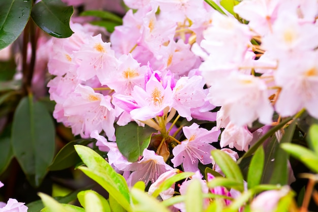 Fragiele toppen variëteit aan rododendrons