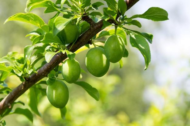 Fragment van een tak van een pruimenboom met groene onrijpe vruchten