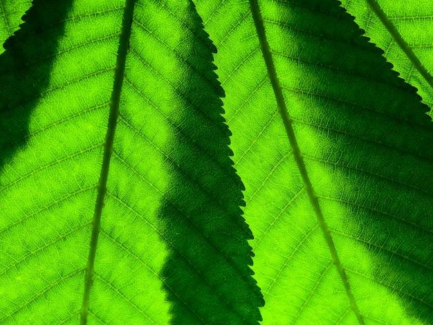 Fragment van twee groene bladeren met aderen die close-up op het lumen overlappen