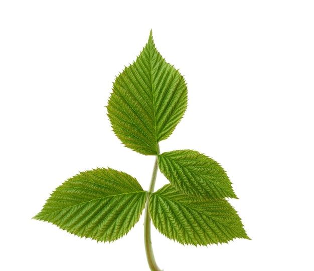 Frambozen tak met groene bladeren geïsoleerd op wit