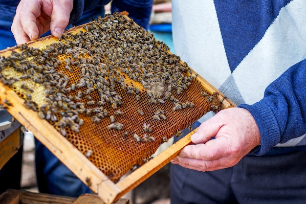 Frame met bijen in handen van een ervaren imker