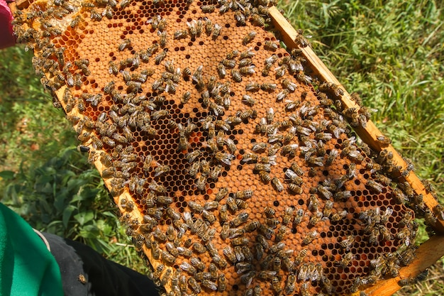 Frame met verzegeld bijenbrood in de handen van een imker. frame met bijen ingesteld. honingbijfamilie met drones op honingraten met verzegelde honing.