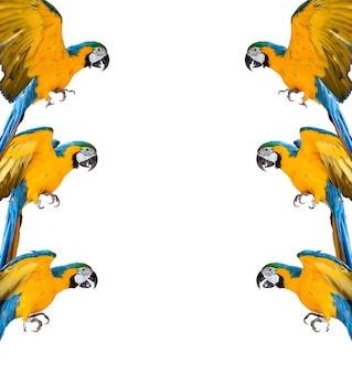 Frame van ara papegaaien op witte achtergrond geïsoleerd