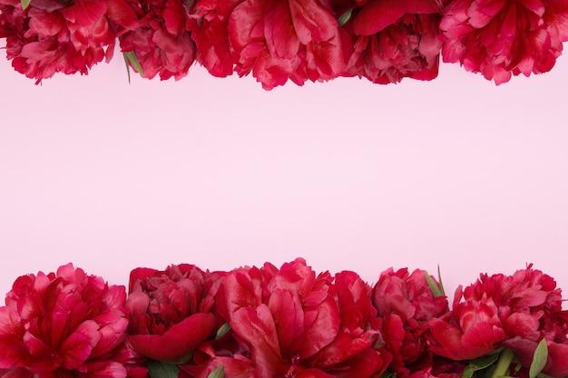 Frame van bordeauxrode pioenrozen op een roze ondergrond
