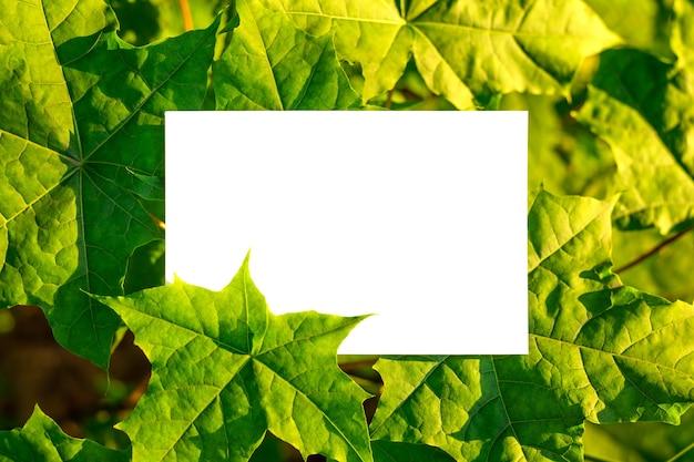 Frame van groene esdoornbladeren aan de boom met wit geïsoleerd papier in het midden