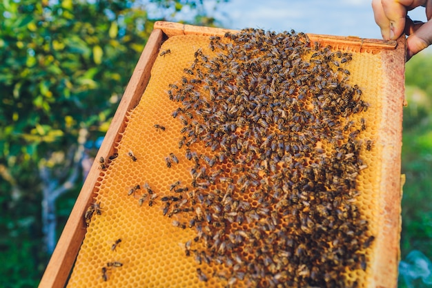 Frames van een bijenkorf. imker oogst honing. de bijenroker wordt gebruikt om bijen te kalmeren voordat het frame wordt verwijderd. imker die bijenkorf inspecteert.