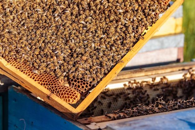 Frames van een bijenkorf. werkende bijen in een bijenkorf. bijen veranderen nectar in honing.