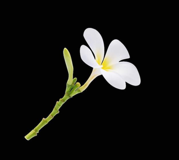 Frangipani bloem geïsoleerd