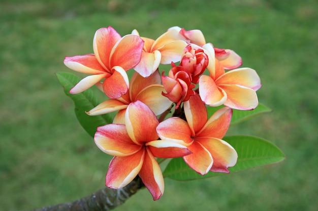 Frangipani bloemen en groene bladeren
