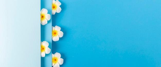 Frangipani-bloemen gluren uit een gevouwen achtergrond van blauw papier. bovenaanzicht, plat gelegd. banier.