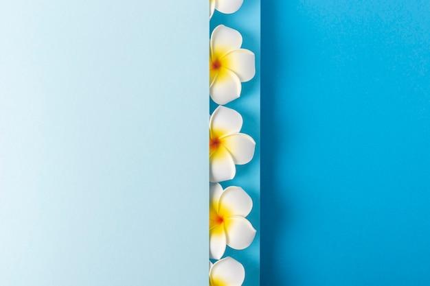 Frangipani-bloemen gluren uit een gevouwen achtergrond van blauw papier. bovenaanzicht, plat gelegd.