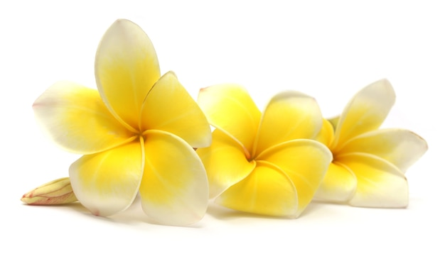 Frangipani op witte achtergrond
