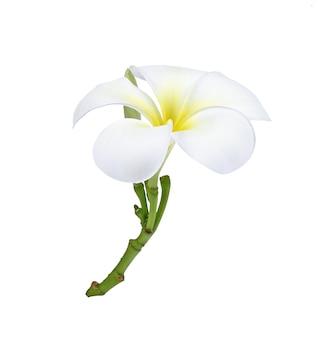 Frangipani (plumeria) bloem met waterdruppel geïsoleerd op wit