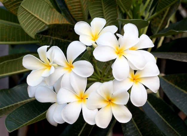 Frangipani tropical spa flower. plumeriabloem op installatie