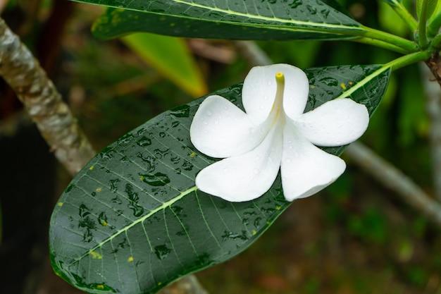 Frangipani tropische bloem groeit buiten in thailand