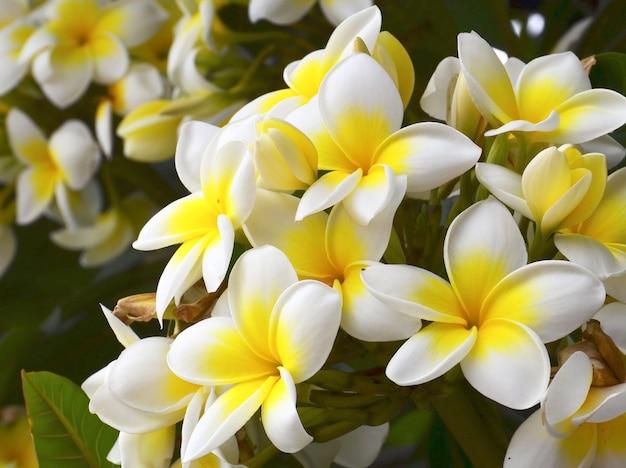 Frangipani tropische bloemen. plumeria.
