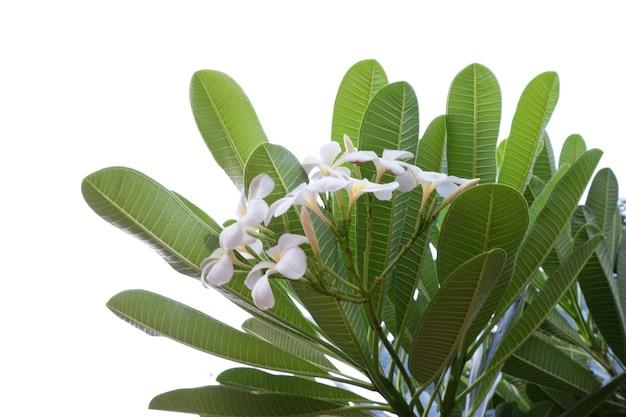 Frangipanibloem die op een witte achtergrond wordt geïsoleerd