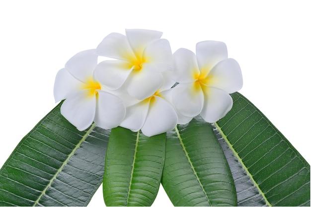 Frangipanibloem die op wit wordt geïsoleerd