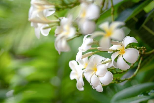 Frangipanibloem of plumeria-bloem met onduidelijk beeldachtergrond