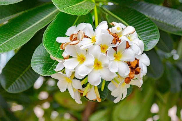 Frangipanibloemen sluiten omhoog mooie plumeria.