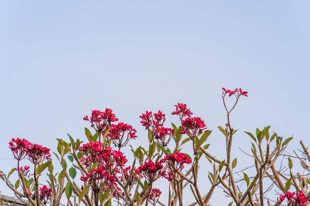 Frangipanibloemen tegen blauwe hemel
