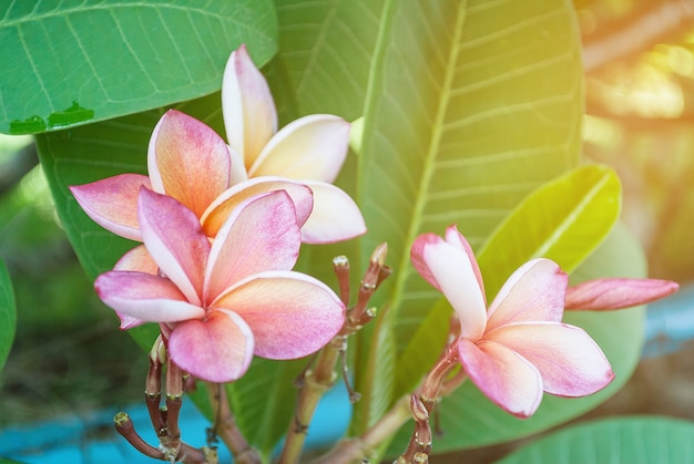 Frangipanibloemen van plumeria in aard, frangipani