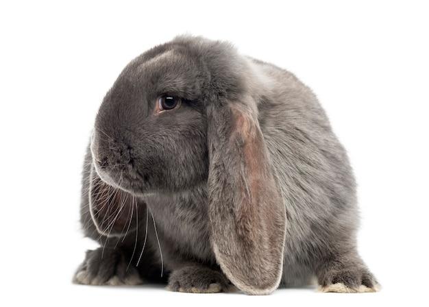 Frans snoeit konijn, geïsoleerd op wit