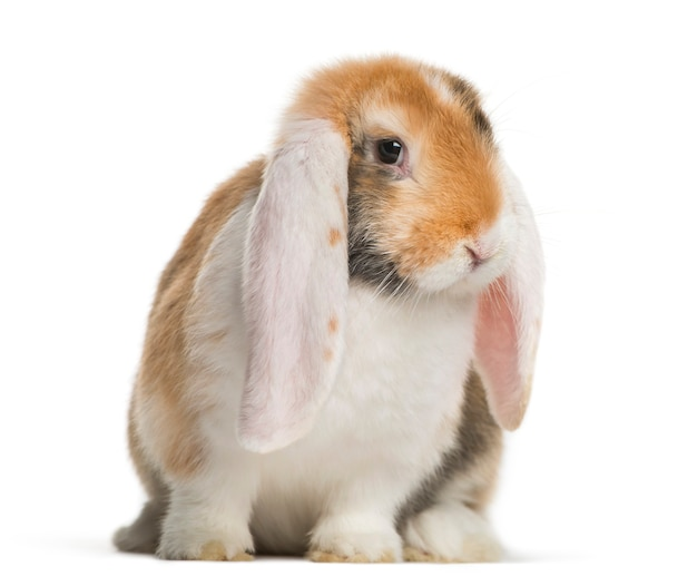 Frans snoeit konijn voor witte oppervlakte