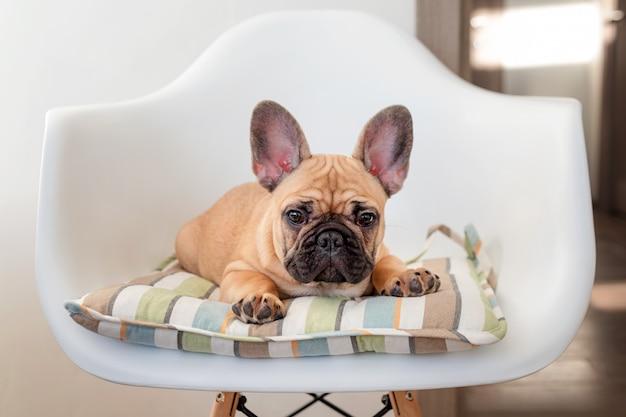 Franse buldogzitting op een stoel die de camera bekijkt. hond die op voedsel in de keuken wacht
