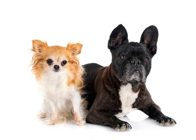 Franse bulldog en chihuahua voor witte achtergrond
