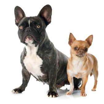 Franse bulldog en chihuahua