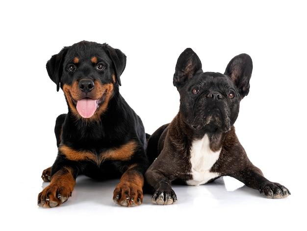 Franse bulldog en puppy rottweiler voor witte achtergrond