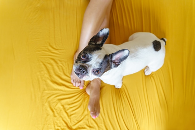 Franse bulldog geïsoleerd op gele achtergrond. bovenaanzicht van hond in bed met onherkenbare vrouw die omhoog kijkt.