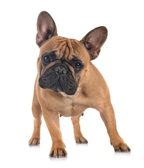 Franse bulldog geïsoleerd