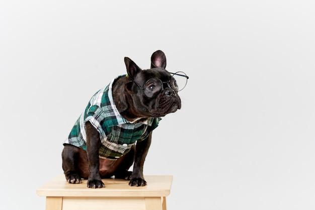 Franse bulldog in bril en shirt, heel slim en slim