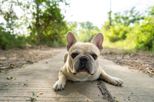 Franse bulldog liggend op de weg.