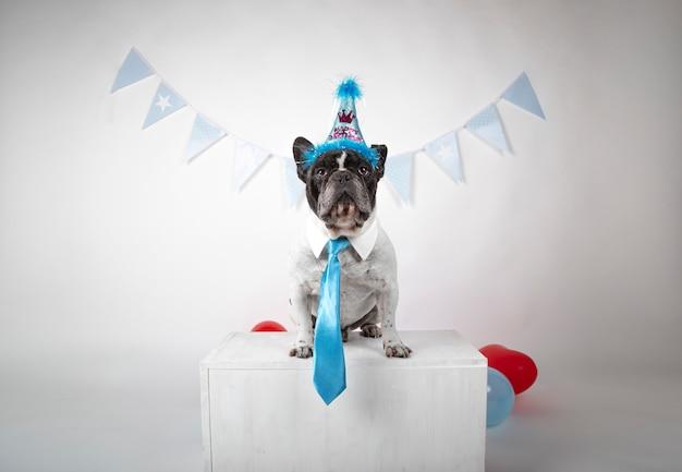 Franse bulldog met overhemd kraag en blauwe stropdas viert zijn verjaardag.