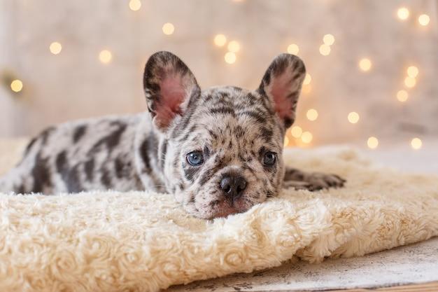 Franse bulldog pup in kerstversiering
