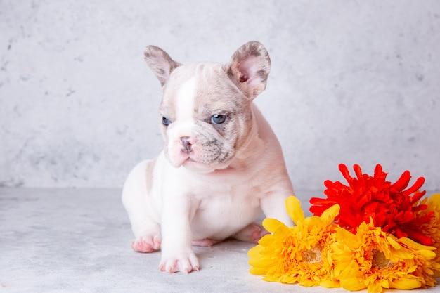 Franse bulldog pup met bloemen op een grijze achtergrond
