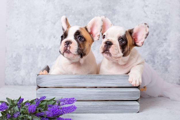 Franse bulldog pup met lentebloemen