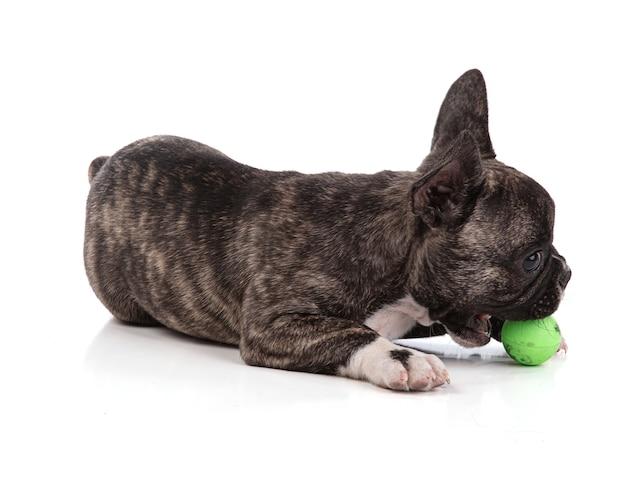 Franse bulldog pup payling met bal op witte achtergrond