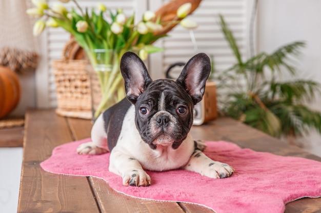 Franse bulldog pup staat op roze mat