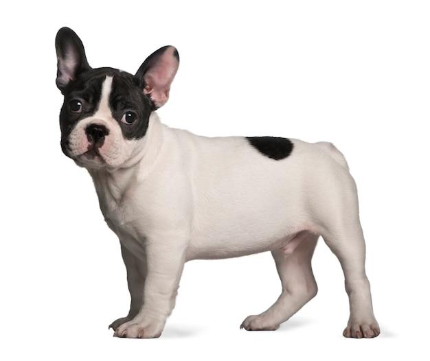 Franse bulldog puppy (3 maanden oud)