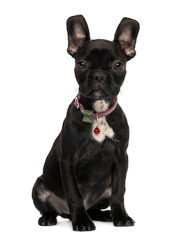 Franse bulldog puppy vergadering geïsoleerd op wit