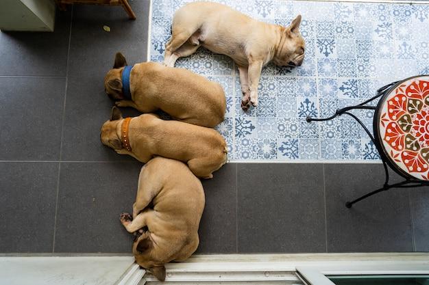 Franse bulldog slapen