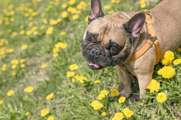 Franse bulldog staat in bloemen