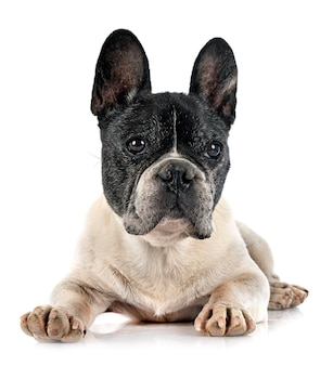 Franse bulldog voor witte achtergrond