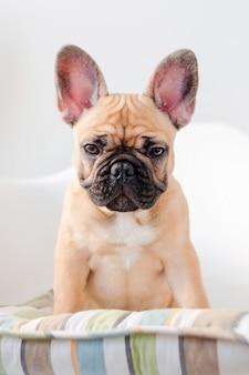 Franse bulldog zit op een stoel kijken naar de camera. hond die op voedsel in de keuken wacht