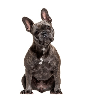 Franse bulldog zitten en kijken naar de camera, geïsoleerd op wit